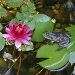 frog on a lily pad in a pond